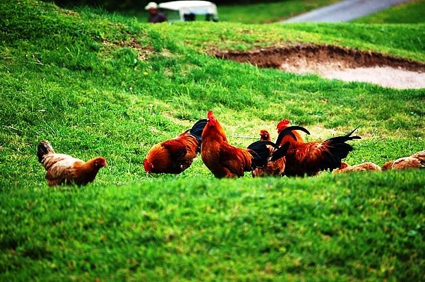 Chickens in Bermuda